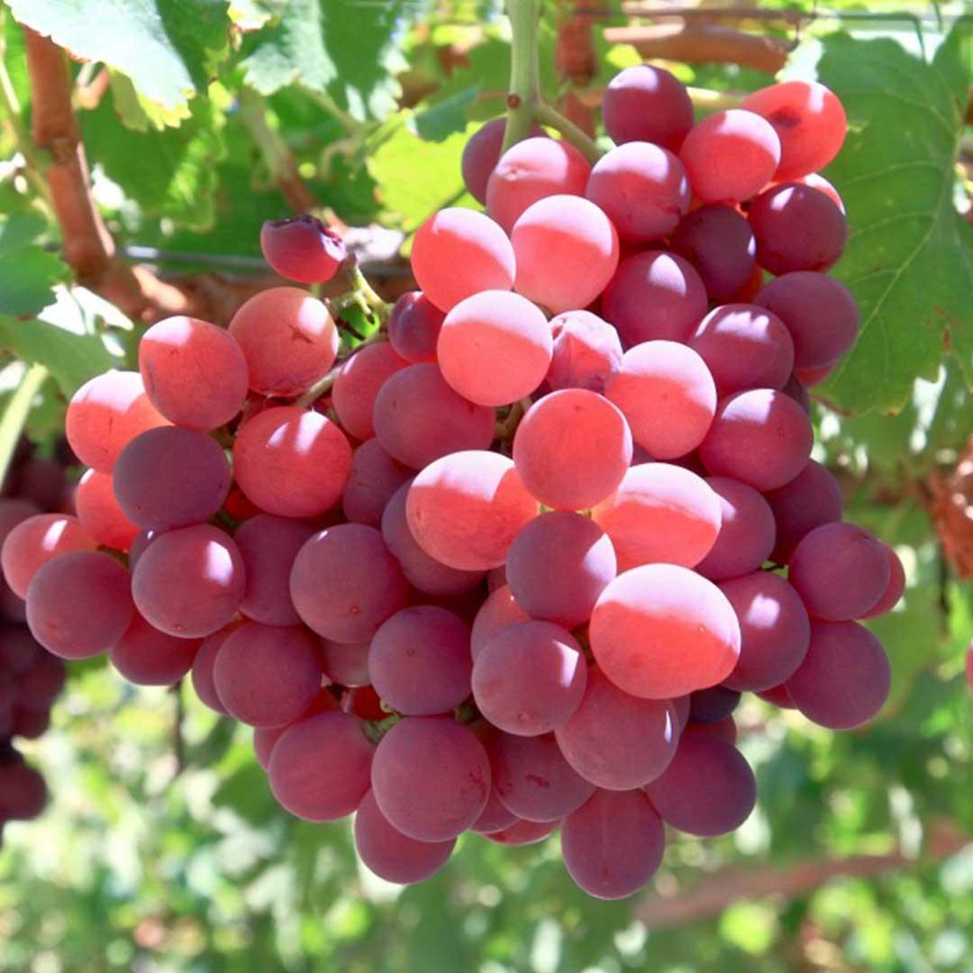 Crimson seedless fruit master - Seedless grape cultivars ...
