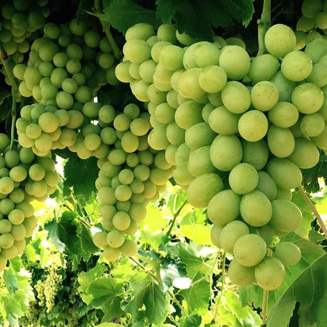 Menindee seedless fruit master - Seedless grape cultivars ...